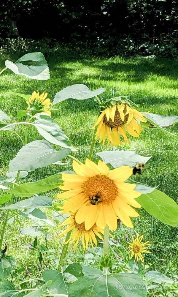 sunflowers with bees